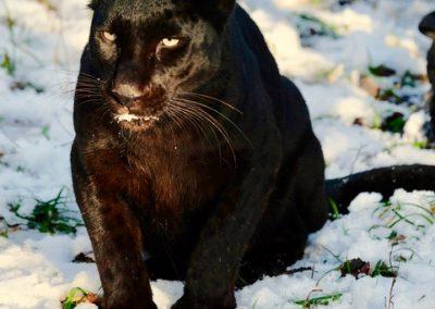 panthere Fauna Guyane 143