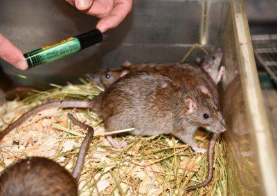 rats 2